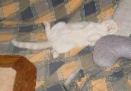 Foto: gato Diabolo